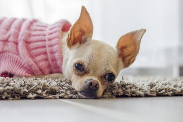 cagnolino con maglione rosa