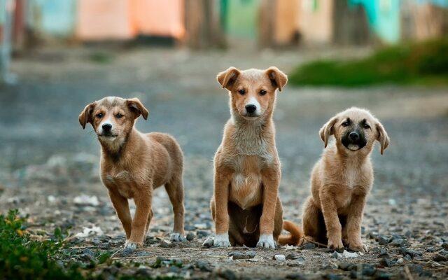tre cagnolini randagi