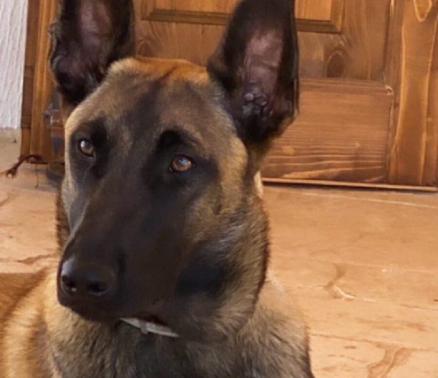 cagnolina pastore belga faccia scura