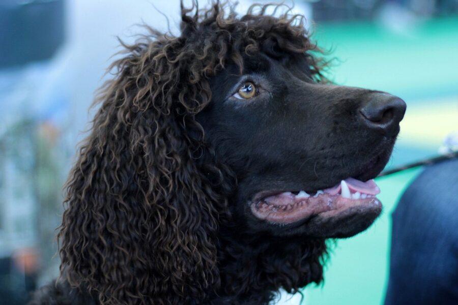 cane con il pelo riccio