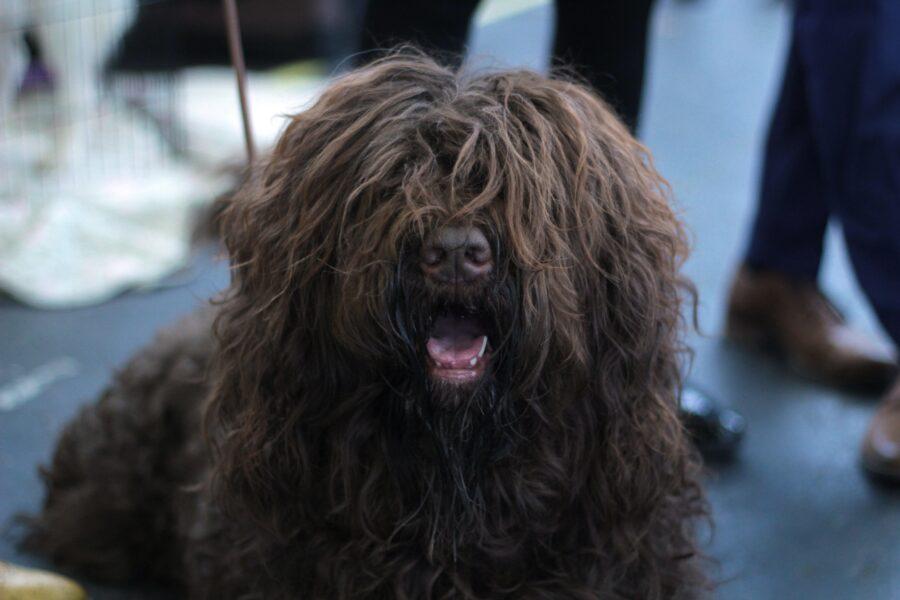 cane col pelo arruffato