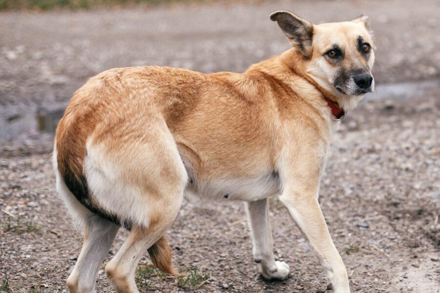cane con la coda fra le gambe