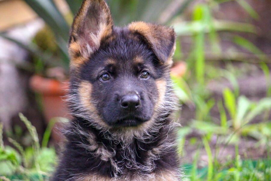 cane con orecchio abbassato