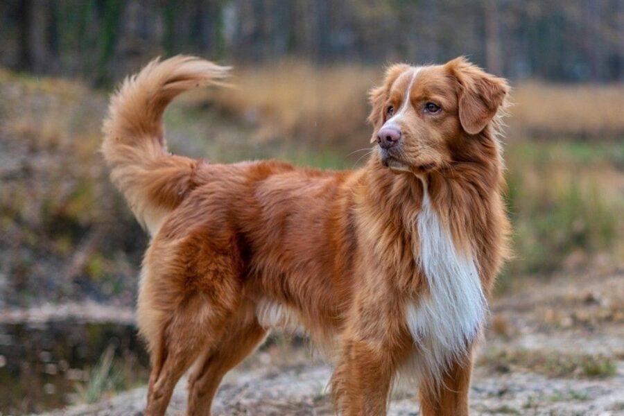 cane con la coda alta