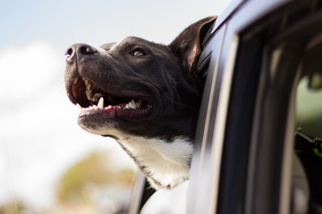 cane sporge testa dal finestrino