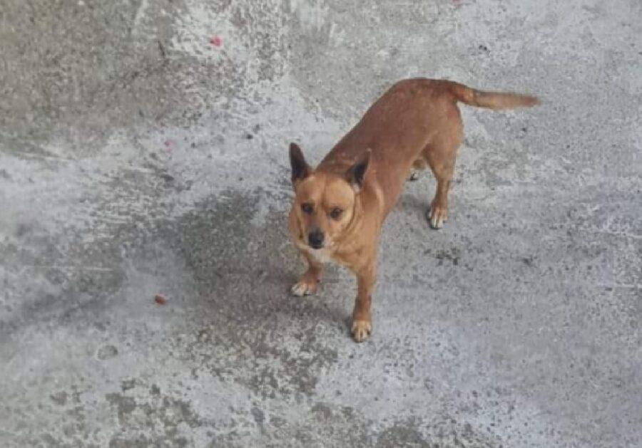 cucciolo di cane pelo marroncino e bianco
