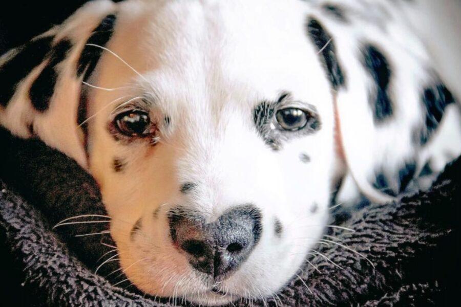 sguardo intenso di un cane