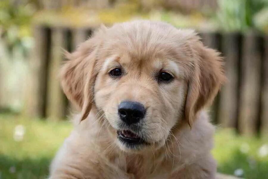 cucciolo di cane fa le smorfie