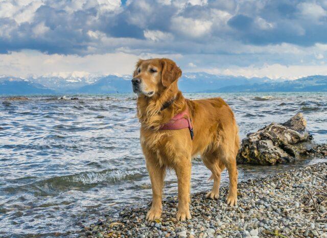 Golden Retriever davanti al mare