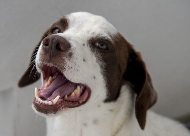 cane meticcio bianco e marrone