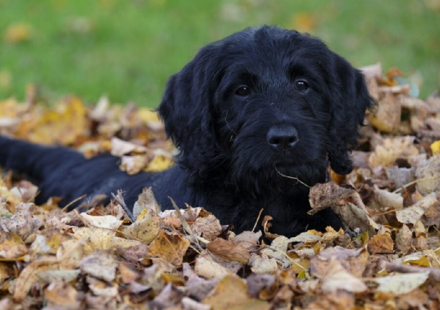 cane barboncino gioca foglie