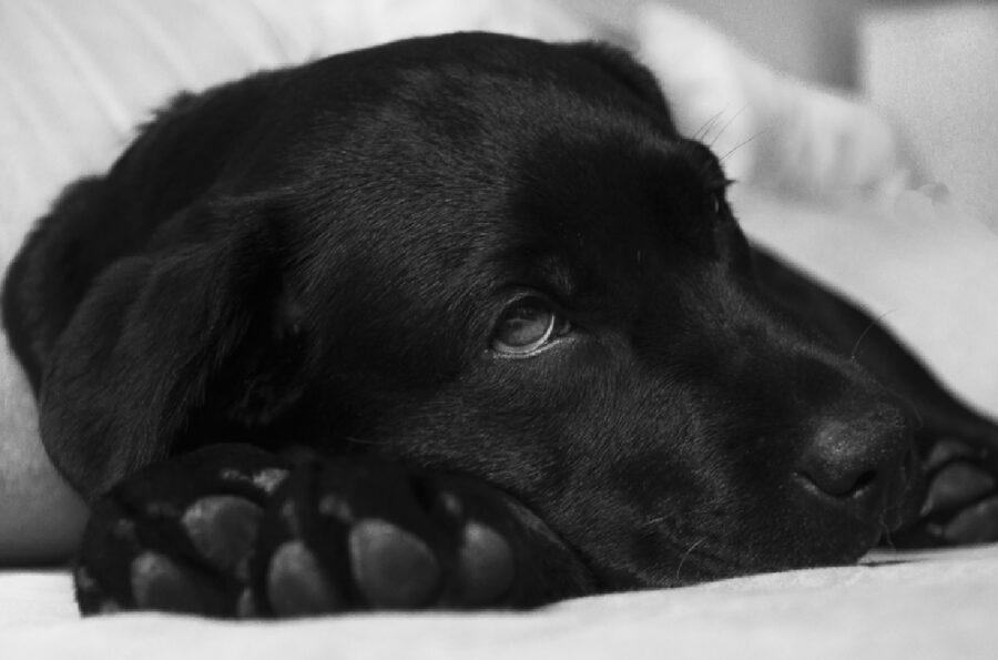 cane nero triste viso