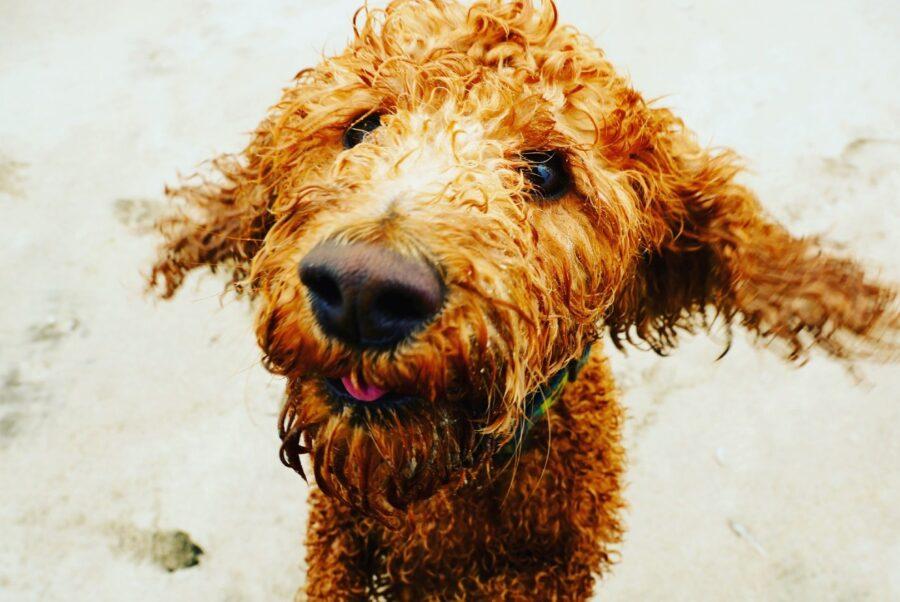 cane con pelo sano