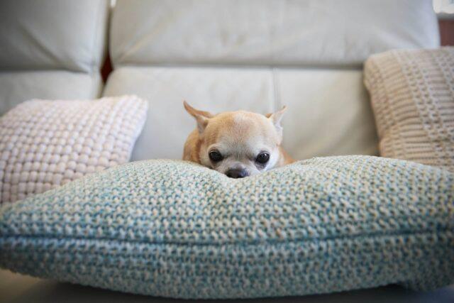 cagnolino sul cuscino