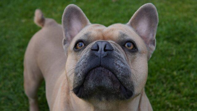 bulldog francese dolce