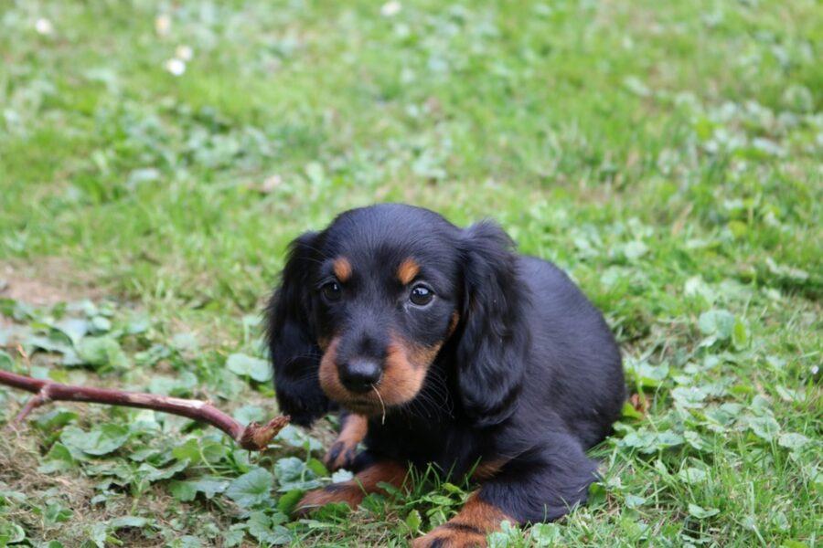 cane gioca legno