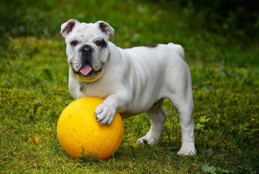 cane gioca palla
