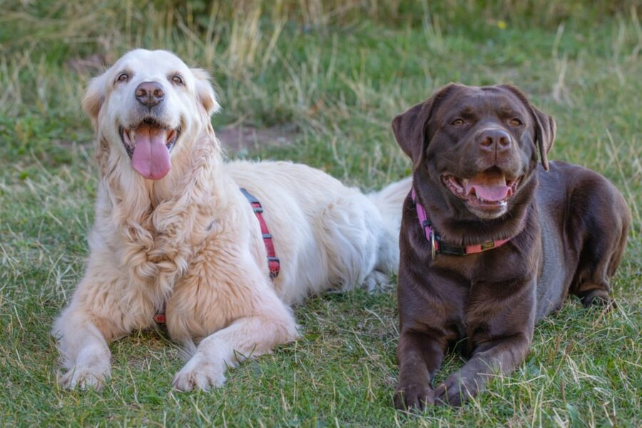 cani insieme coppia