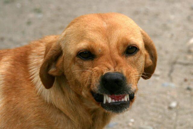 cane faccia arrabbiata