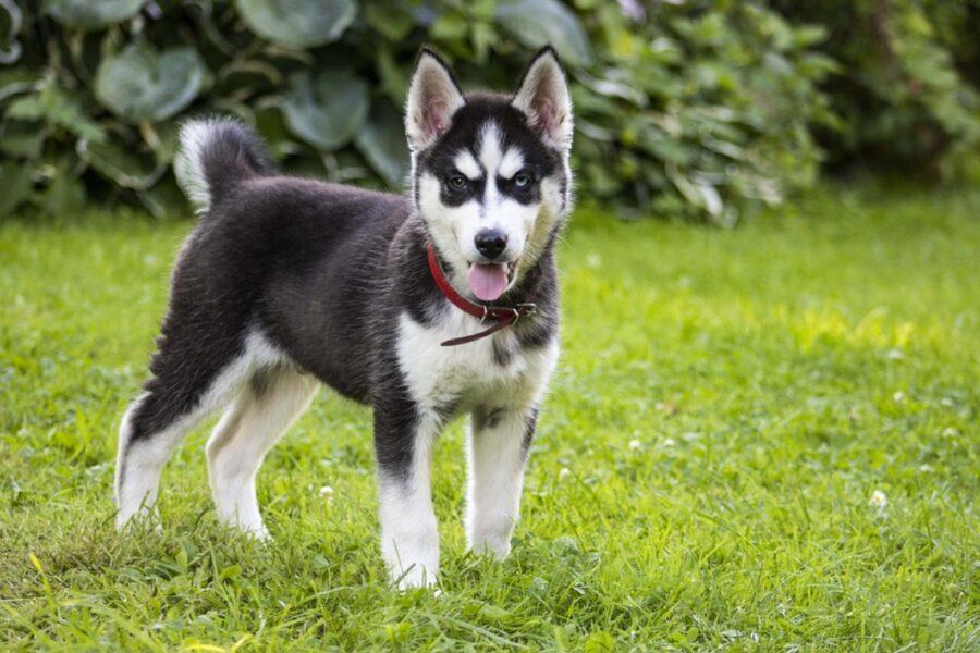 cane husky dolce