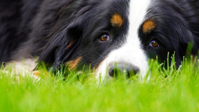 cane dolce erba