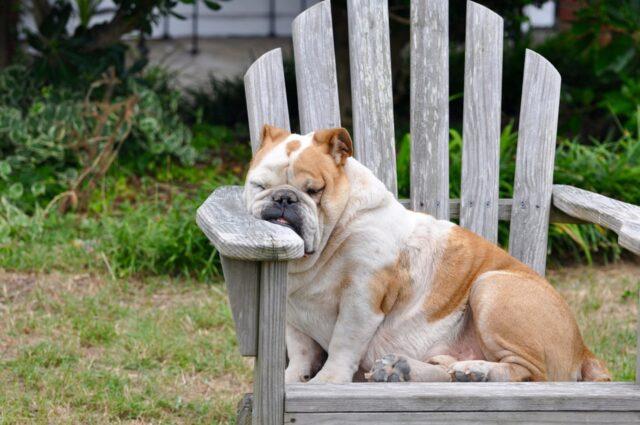 cane bulldog sedia