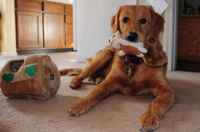 cane gioca giochino