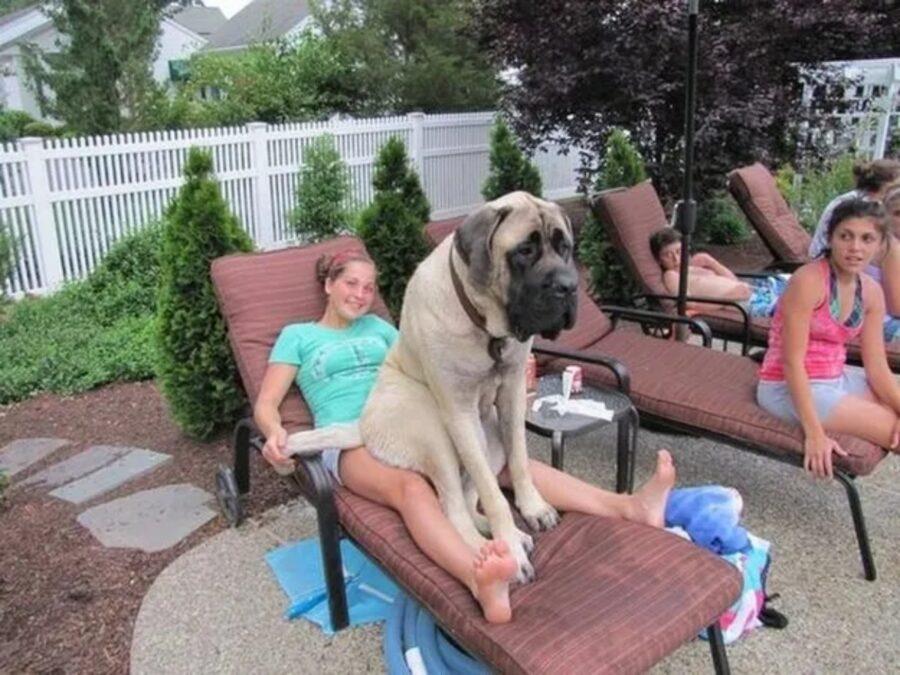cane grande buffo