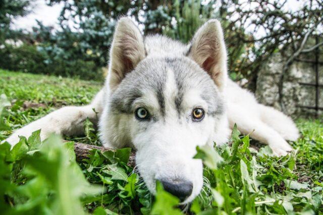 husky cane dolcissimo