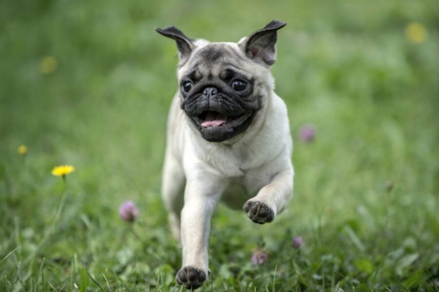 cane corre felice