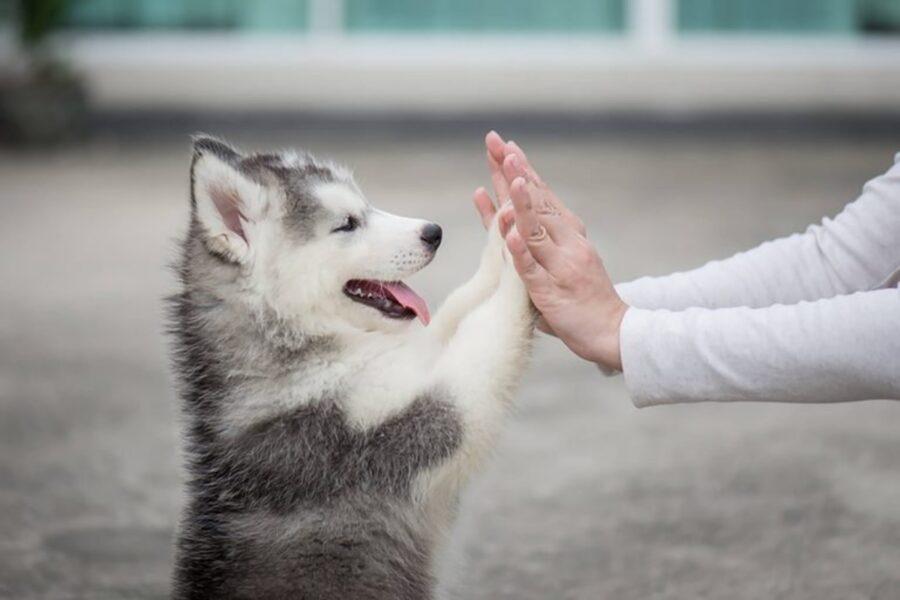 cane husky piccolo