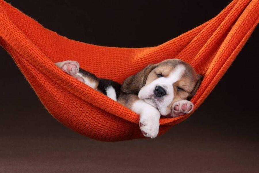 cane dorme amaca