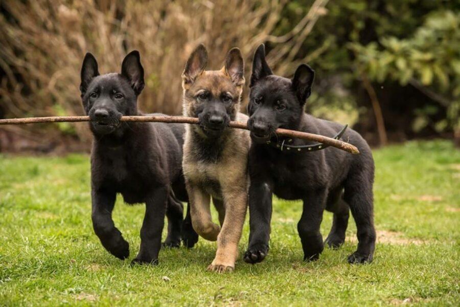 cani bastone gioco