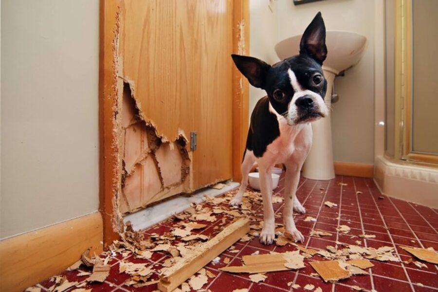 cane porta distrutta