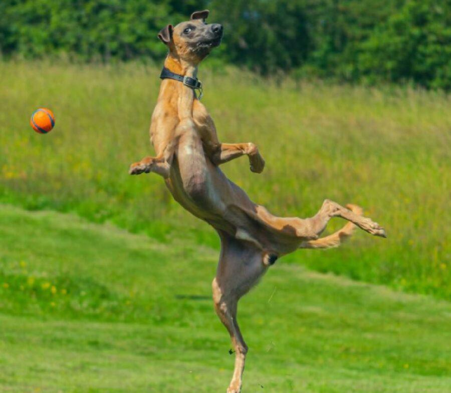 cagnolino salta per la palla