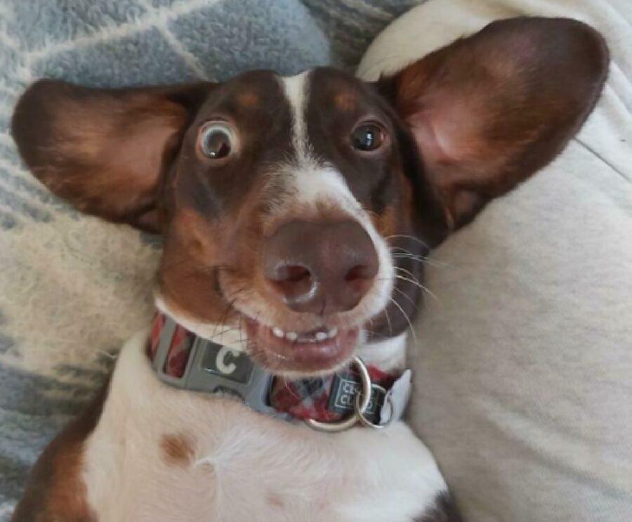 cane faccia troppo felice