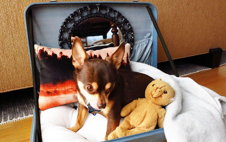 cane chihuahua dorme valigia