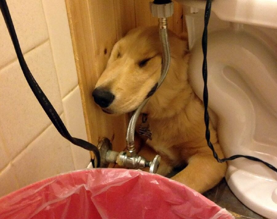 cane golden appoggiato tubature