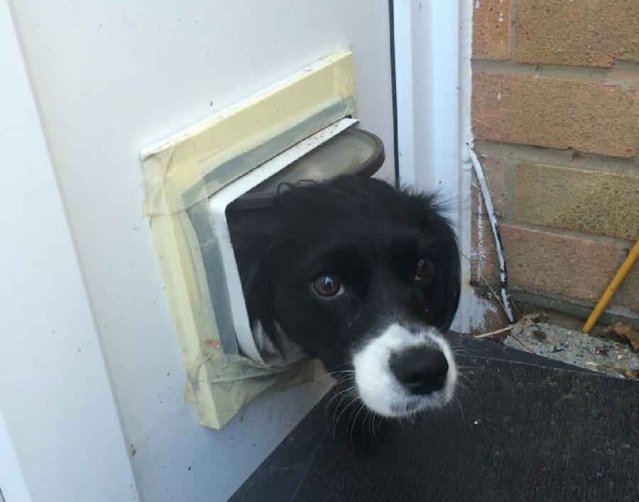 cane nero con muso bianco