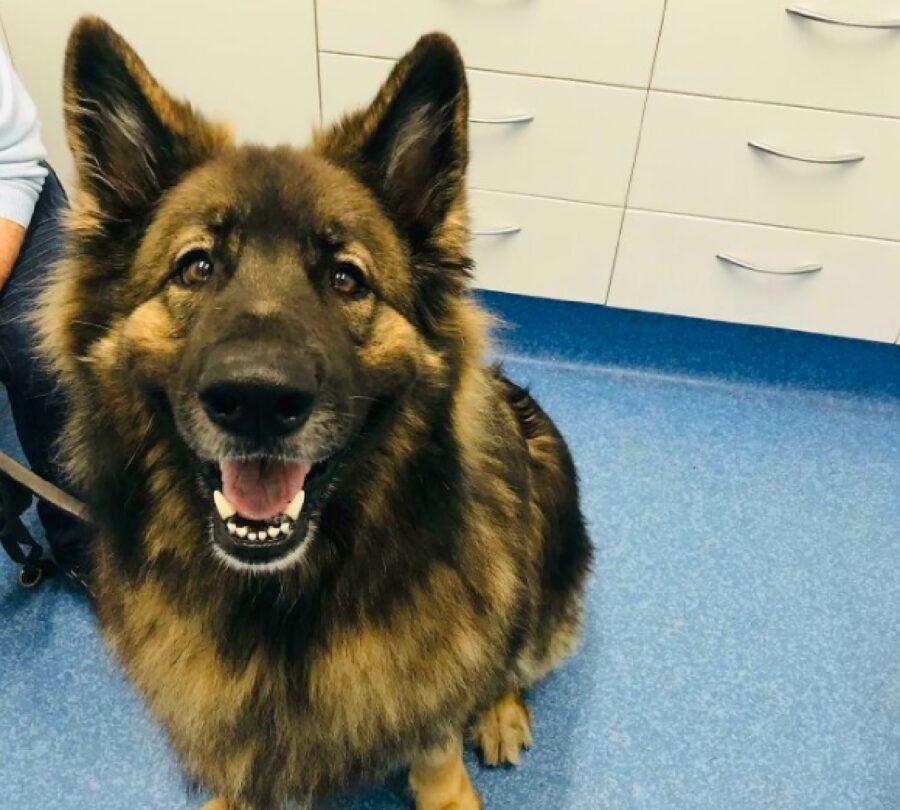 cane pastore tedesco felice