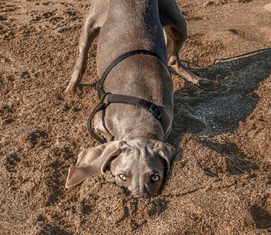 cane mette testa dentro sabbia