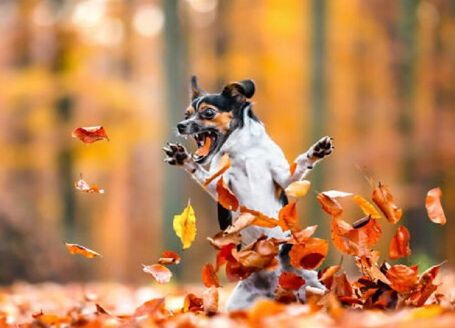 cane jack russell pazzo per le foglie