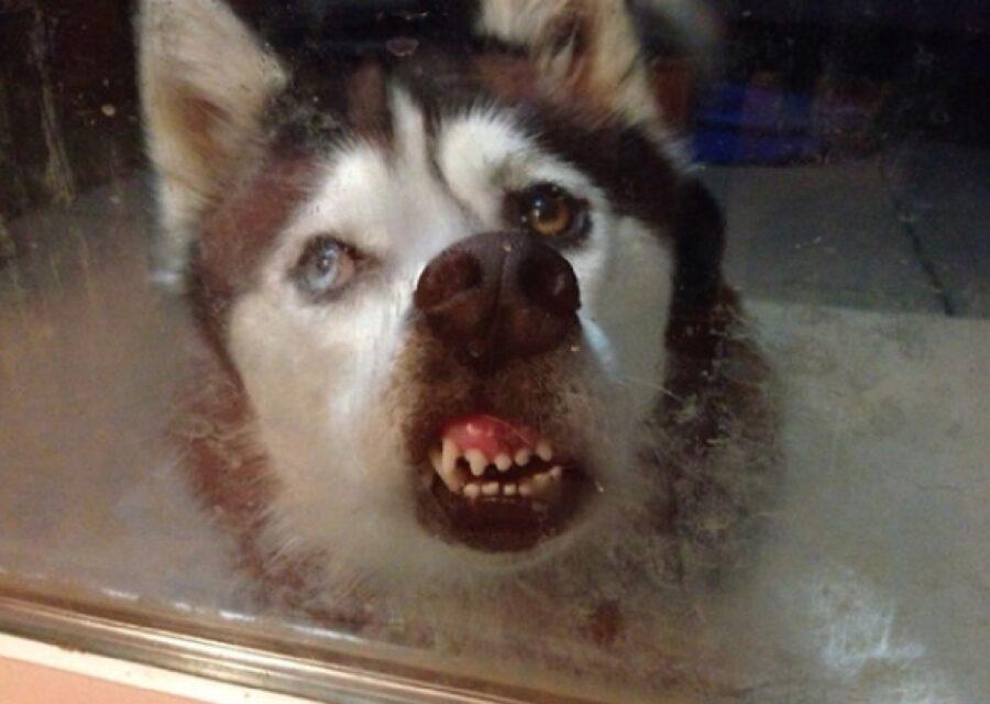 cane schiaccia naso su vetro