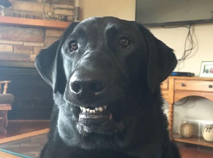 cane labrador denti stretti
