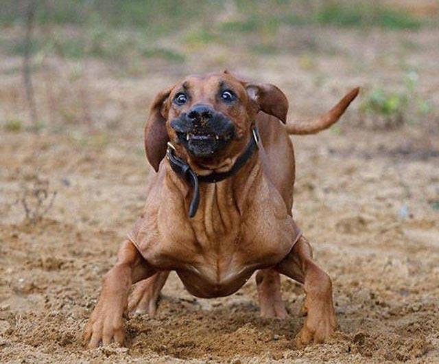 cane buffo