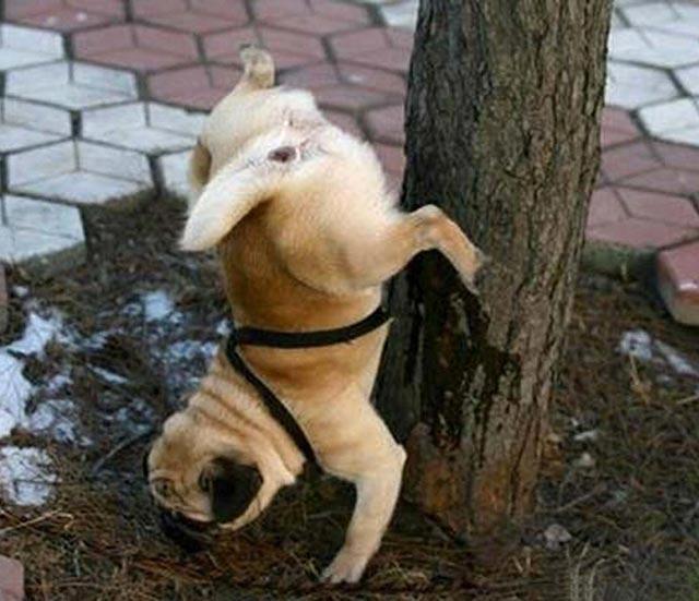 cane fa pipi