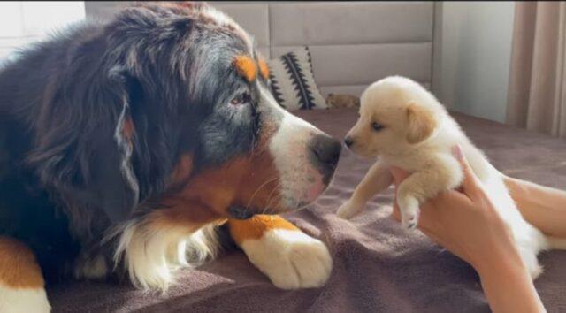 bovaro del bernese incontra cuccioli