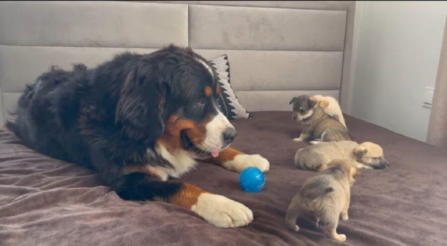 bovaro del bernese incontra cuccioli per la prima volta
