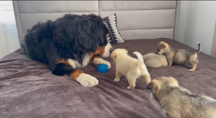 primo incontro tra cuccioli e bovaro del bernese