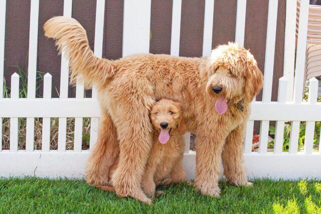 mamma e cucciolo di cane goldendoodle